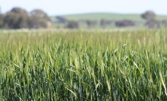 GRDC Grains Research Update, Minnipa SA